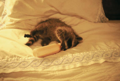 Baby raccoon   on bed sucking on baby bottle.