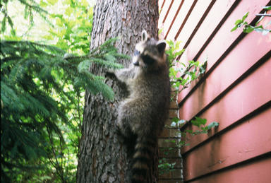 Higgins Journal The Life And Times Of A Young Raccoon